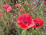 Papaver Rhoeas (Common Poppy/ Corn Poppy/ Field Poppy) Red Dwarf 5000+ Seeds
