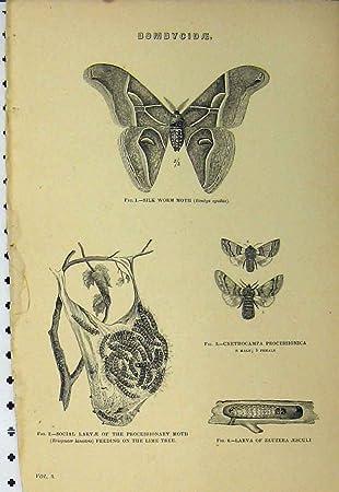 Bombycidae C1890 Seidenraupe Motten Larven Limettenbaum Druck