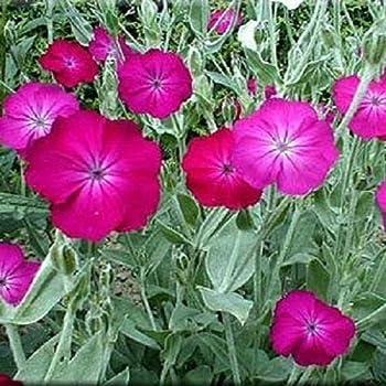 Amazon rose campion sun perennial pink flower 150 seeds 50 rose campion lychnis coronaria flower seeds perennial mightylinksfo