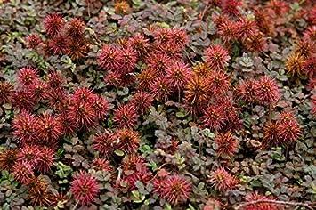 10 X Acaena Microphylla Kupferteppich Stachelnüsschen Ab 149