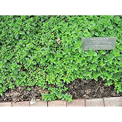 Toyensnow - Marjoram, Fragrant HERB, Heirloom (1050 Seeds) : Garden & Outdoor