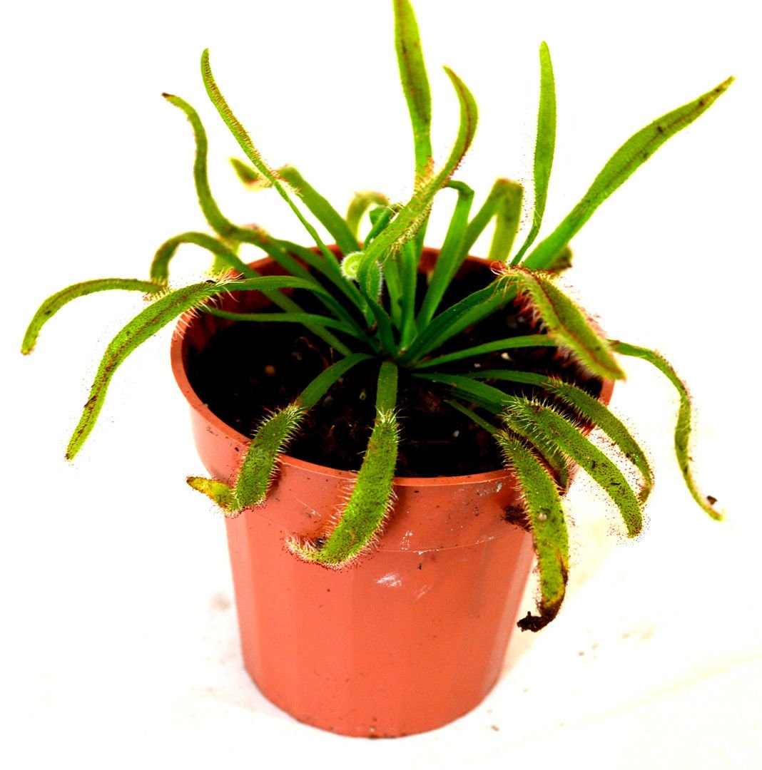 New and Fresh Cape Sundew Plant - Drosera capensis - Carnivorous - Gift Mature Holiday 3'' Pot by ctgrower (Image #1)