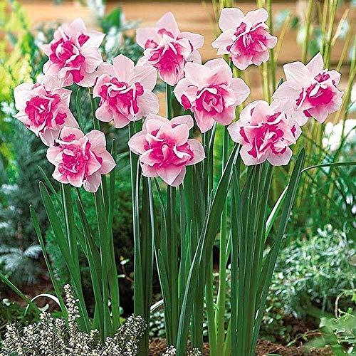 Mei Yun 400pcs Double Narcissus Flower Seeds Spring Flowers Yard Garden Plants Home Balcony Bonsai Decor (Romantic Pink)