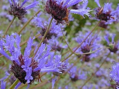 ScoutSeed Salvia clevelandii - Sabio azul - Nativo de ...