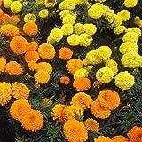 マリーゴールド:アフリカントール200g[4~6月まき タネ][線虫抑制・緑肥・景観・遊休地の雑草防止]
