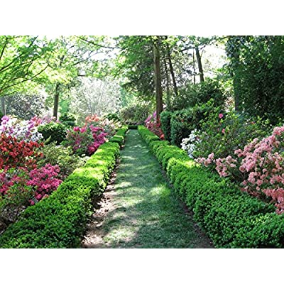 Green Velvet Boxwood Liners - 10 Live Plants by DAS Farms : Shrub Plants : Garden & Outdoor