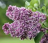 Sensation Lilac (Syringa) - Live Plant - Quart Pot