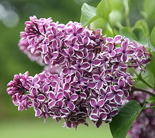 Sensation Lilac ( syringa ) - Live Plant - Quart Pot