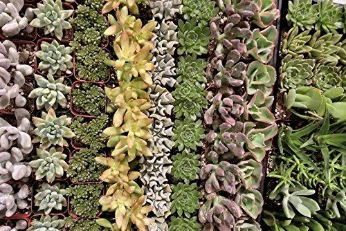 Fat Plants San Diego Premium Succulent Plant Variety Package. Live Indoor Succulents Rooted in Soil in a Plastic Growers Pot (30) by Fat Plants San Diego (Image #1)