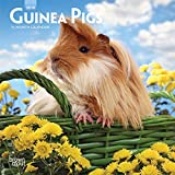 Guinea Pigs 2019 7 x 7 Inch Monthly Mini Wall Calendar, Domestic Animals Small Pets