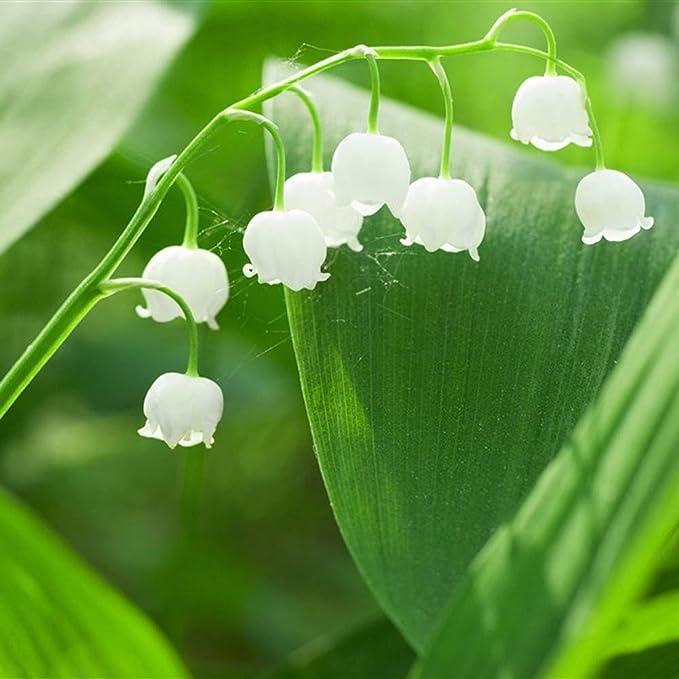 100Pcs Convallaria Majalis Lily Flower Seeds Garden Balcony Roof Plant Exotic