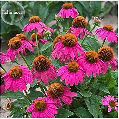 New Heirloom Echinacea 'Powwow' Wild Berry Coneflower Perennial Flowers, 100+ Seeds