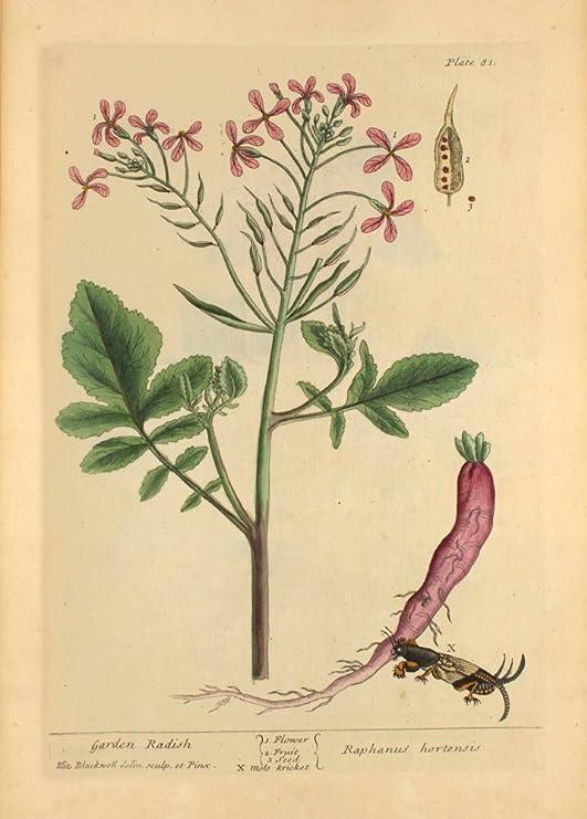 Botánica de la vendimia 1730 del Jardín Rábano