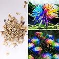 Rosepoem 100 Pz Arcobaleno Crisantemo Semi di fiori, colore raro margherita, migliori semi regalo per giardino domestico fai da te