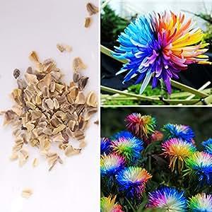 BigFamily 100 Unids Rare Rainbow Crisantemo Daisy Dorotheanthus Flores Semillas Jardín