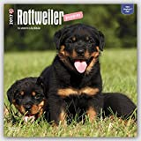 Rottweiler Puppies 2017 Square