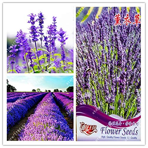 Seed Original Package-True Lavender Plants Lavender Angustifolia Vanilla of Native Species Potted Plants for Home Garden