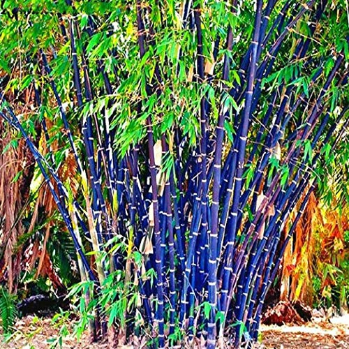 MelysUS 100pcs Colorful Bamboo Seeds Bonsai Planting Home Garden Decoration Bamboo