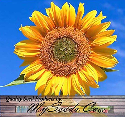 5 LB (45,000+ Seeds) PEREDOVIK Sunflower Seeds - Game Birds & Deer Favorite - Rich in Oil A+ for PLOT FOOD WILDLIFE - Non-GMO Seeds By MySeeds.Co (5 LB Peredovik Sunflower) by MySeeds.Co - Flower Seeds by the LB (Image #3)