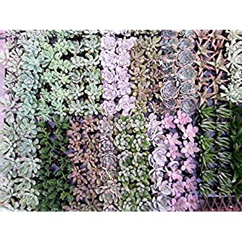 "Air Flora Succulent 2"" Mix Growers Choice, Small, Mix Colors"