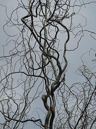 (1 Gallon) Corkscrew Willow-showy twisty branches like a corkscrew-also good for wet spots. Branches reach out horizontally and then twist this way and that, creating curls or - Tree Willow Branches