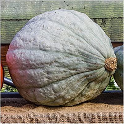 Package of 20 Seeds, Blue Hubbard Winter Squash (Cucurbita maxima) Non-GMO Seeds by Seed Needs