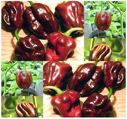 (30 HABENERO HABANERO CHOCOLATE HOT Pepper seeds 2