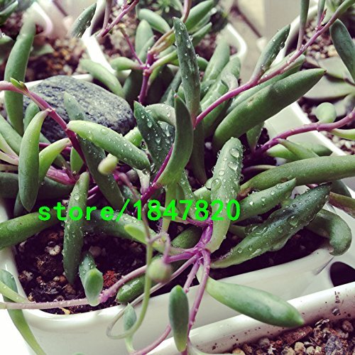 (100pcs/bag Rare Purple Pearl Chlorophytum Seeds Beads Bonsai Absorb Formaldehyde Indoor Air Purification Plants Seeds)