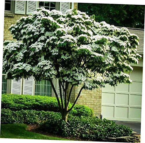 JAY 1 Cornus Kousa Dogwood Tree 6-12