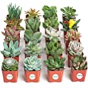 20-Pack Shop Succulents Fully Rooted Live Indoor Succulent Plants