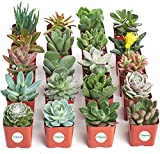 Shop Succulents Unique Collection of Live Hand Selected for Health, Size | Pack of Succulents, 20