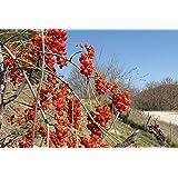 American Bittersweet Vine, Celastrus Scandens, 20 Seeds