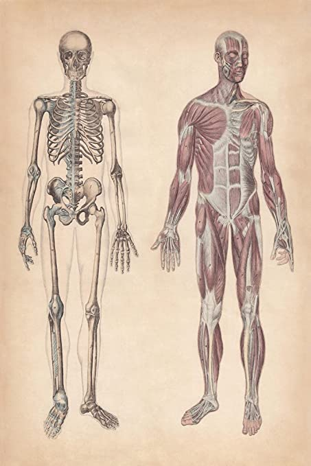 Amazon Human Skeleton And Muscles Hand Colored Engraving 1861