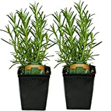 "LIVE Rosemary Herb Plant - Organic NON-GMO - 2 (TWO) Plants Fit 3.5"" Pot"