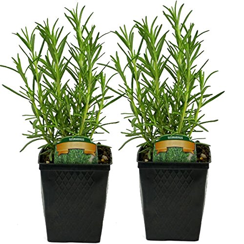 """LIVE Rosemary Herb Plant - Organic NON-GMO - 2 (TWO) Plants Fit 3.5"""" Pot"""