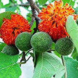 HOT - Organic Seeds Paper Mulberry. Flower (Broussonetia papyrifera) Tree