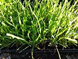 LEMON GRASS - MOSQUITO GRASS - HERB - 20 PLANTS - LIVE PLANTS - 2'' POTS