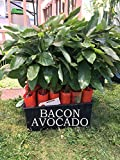 Bacon Avocado Tree, Grafted - VERY COLD HARDY - Grafted Live Avocado Tree