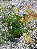 2 Gallon Glowing Embers Japanese Maple, Stunning Georgia Gold Medal Winner, Hydrangeas Shrub, Evergreens, Gardenia, Hydrangea Plants