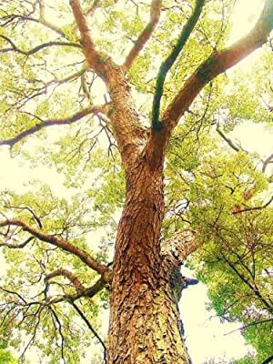 Swietenia Mahagoni, Hardwood Mahogany Tree Bonsai Rare Hard Wood Seed 100 Seeds