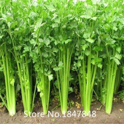 Deal! 100pcs/pack Fresh Genuine celery Seeds Perennial vegetable Seeds Bonsai Seeds Garden Plant