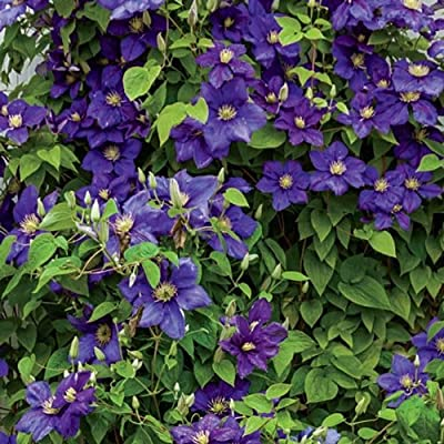 General Sikorski Clematis : Garden & Outdoor