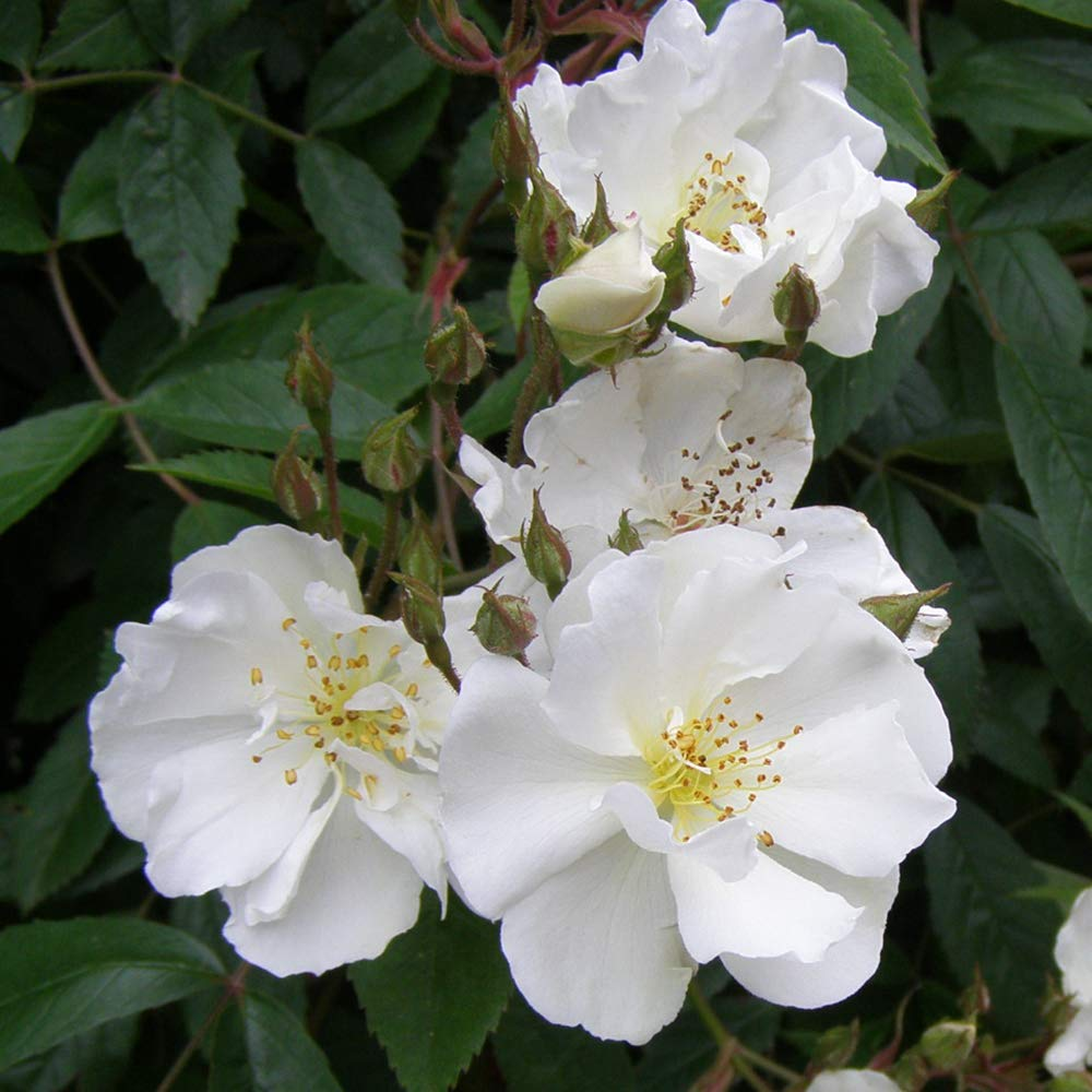 Own-Root One Gallon Darlow's Enigma Rambling Rose by Heirloom Roses