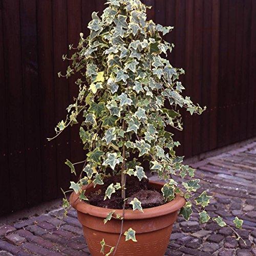 Buntblättriger Efeu, 3 Pflanzen, 9cm Topf