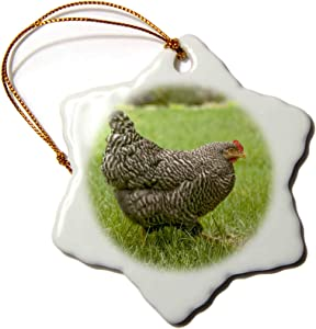 3dRose Free-ranging Barred Plymouth Rock Chicken Foraging on a Lawn, PR - Ornaments (ORN_332847_1)