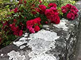 Climbing Rose Seeds,BRIGHT RED FLOWERS, Perennials , fence, pillar, shed offers