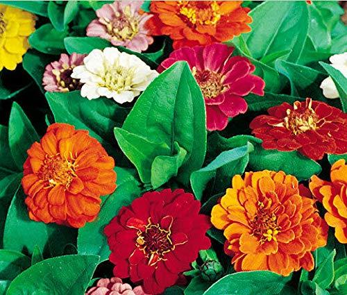 Zinnia THUMBELINA Dwarf Mixed Colors Zinnia Elegans - 10,000 Bulk Seeds
