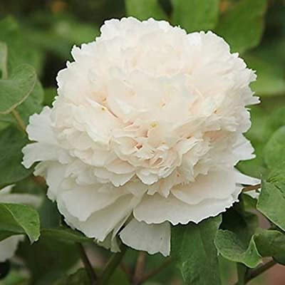 Zuckerfan Summer Blooming Peony Flower Seeds Perennial Plants Garden Ornamental Flowers : Garden & Outdoor