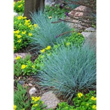 "ORNAMENTAL BLUE GRASS "" Festuca Ovina Glauca"" Perennial Ground cover SEEDS 71"