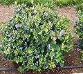 Amazing Plants Top Hat Dwarf Blueberry - Live Plant